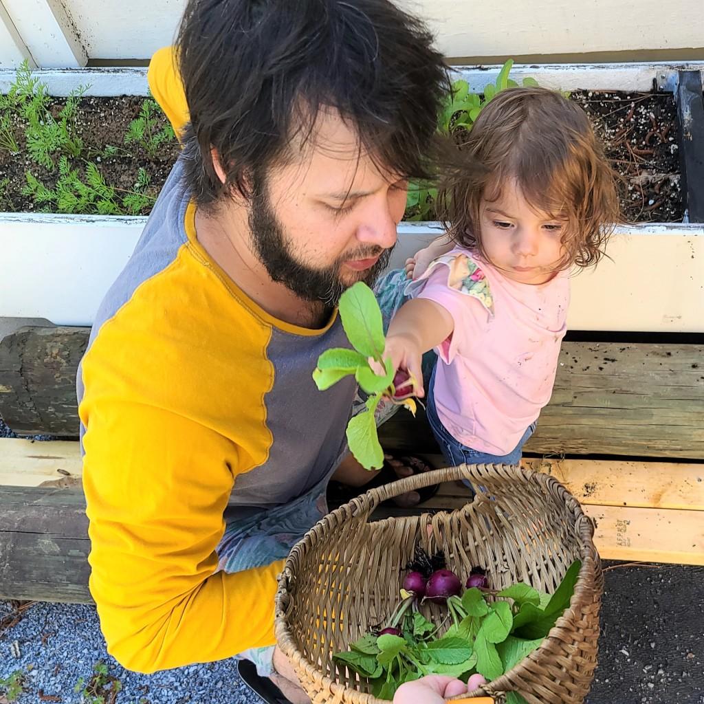 Mischa Pawlik with Daughter, Jolene, harvesting purple plum radishes.